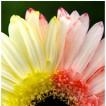 Kids-Science-Bicolor-Flowers1-622x1024