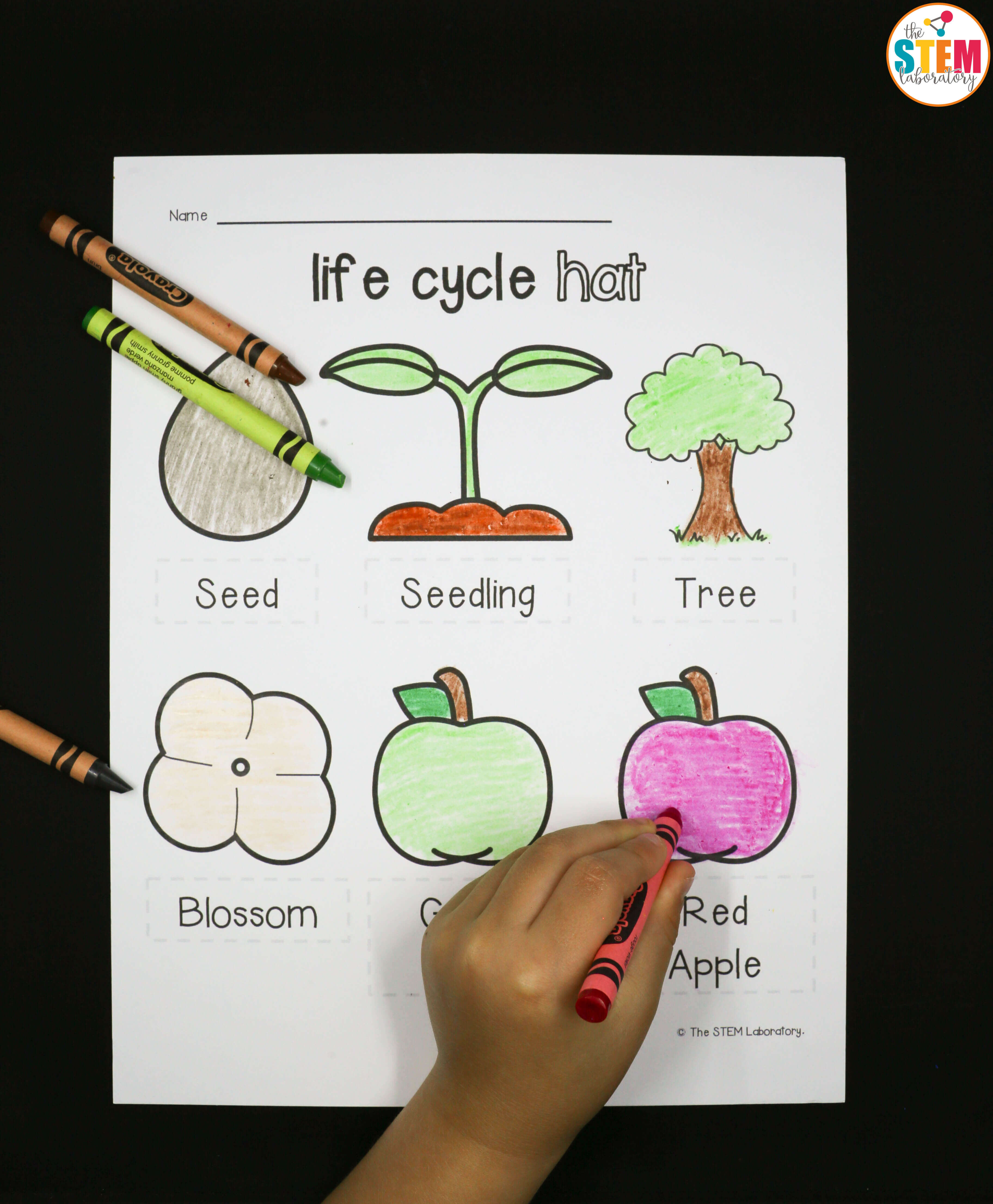 photo regarding Apple Life Cycle Printable known as Enjoyment apple lifestyle cycle game for little ones! - The Stem Laboratory